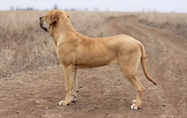 Фила-бразилейро-собака-Описание-особенности-цена-уход-и-содержание-породы-3