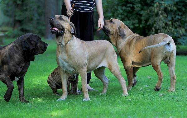 Фила-бразилейро-собака-Описание-особенности-цена-уход-и-содержание-породы-4
