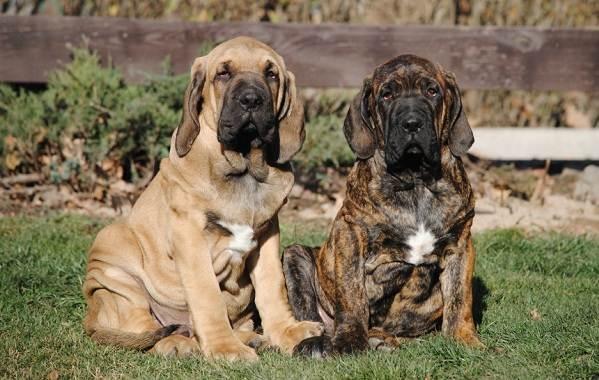 Фила-бразилейро-собака-Описание-особенности-цена-уход-и-содержание-породы-5