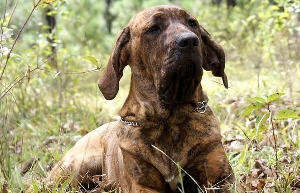 Фила-бразилейро-собака-Описание-особенности-цена-уход-и-содержание-породы-7