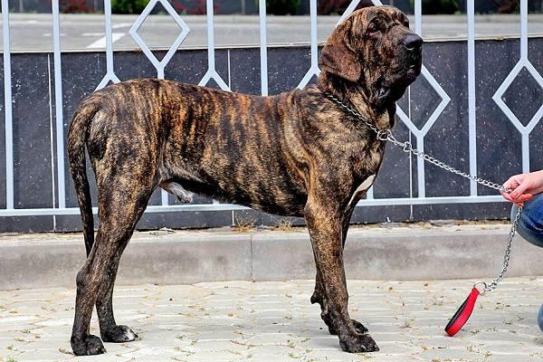 Фила-бразилейро-собака-Описание-особенности-цена-уход-и-содержание-породы-8