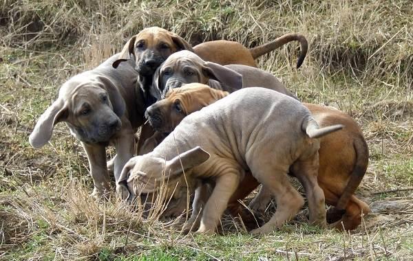 Фила-бразилейро-собака-Описание-особенности-цена-уход-и-содержание-породы-9