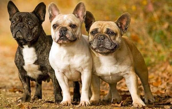 Французский-бульдог-собака-Описание-особенности-уход-содержание-и-цена-породы-10