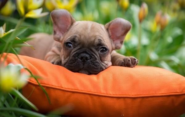 Французский-бульдог-собака-Описание-особенности-уход-содержание-и-цена-породы-18