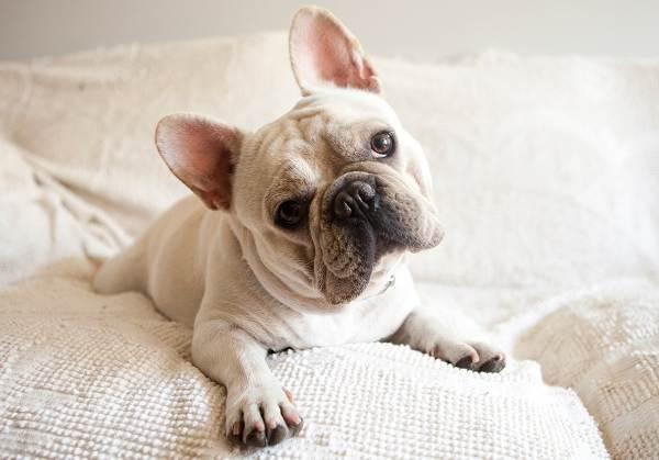 Французский-бульдог-собака-Описание-особенности-уход-содержание-и-цена-породы-2