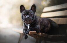 Французский бульдог собака. Описание, особенности, уход, содержание и цена породы