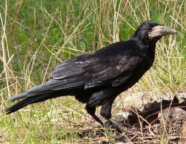 Грач-птица-Описание-особенности-виды-образ-жизни-и-среда-обитания-грачей-1