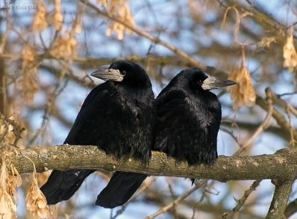 Грач-птица-Описание-особенности-виды-образ-жизни-и-среда-обитания-грачей-10