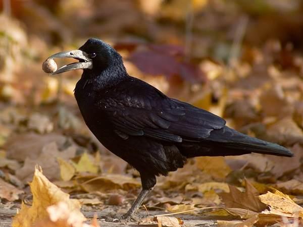 Грач-птица-Описание-особенности-виды-образ-жизни-и-среда-обитания-грачей-11
