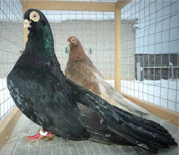 Грач птица. Описание, особенности, виды, образ жизни и среда обитания грачей