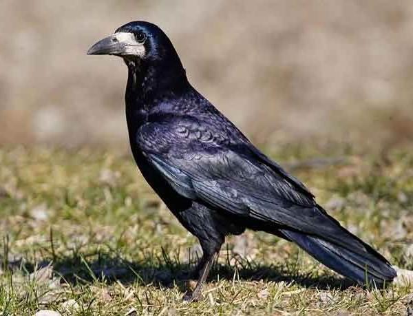 Грач-птица-Описание-особенности-виды-образ-жизни-и-среда-обитания-грачей-2