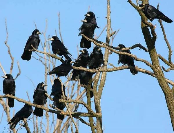 Грач-птица-Описание-особенности-виды-образ-жизни-и-среда-обитания-грачей-4