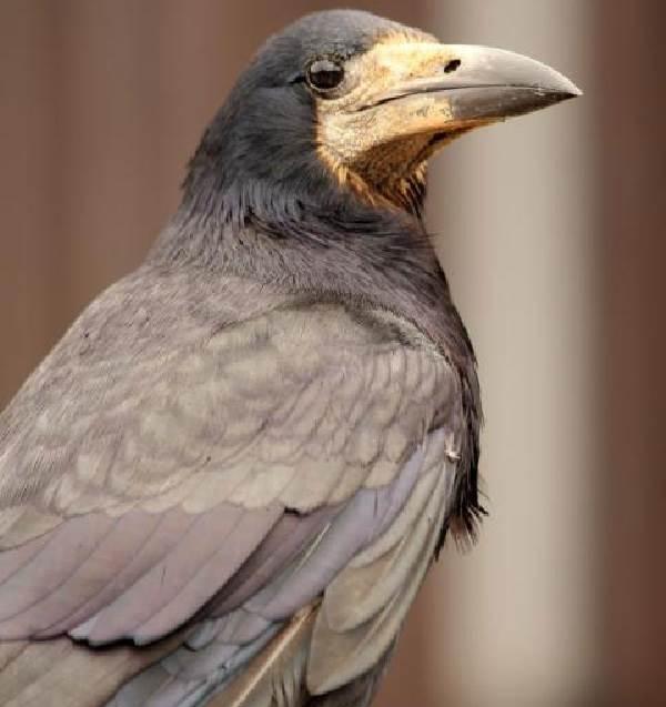 Грач-птица-Описание-особенности-виды-образ-жизни-и-среда-обитания-грачей-6