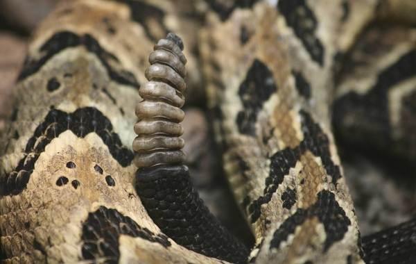 Гремучая-змея-Описание-особенности-виды-образ-жизни-и-среда-обитания-гремучей-змеи-1