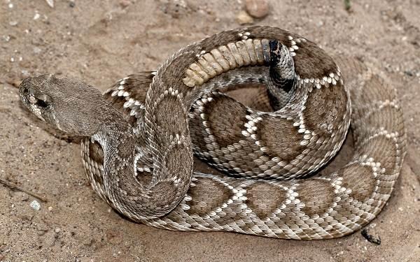 Гремучая-змея-Описание-особенности-виды-образ-жизни-и-среда-обитания-гремучей-змеи-10