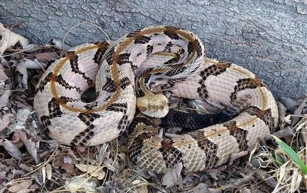 Гремучая-змея-Описание-особенности-виды-образ-жизни-и-среда-обитания-гремучей-змеи-11