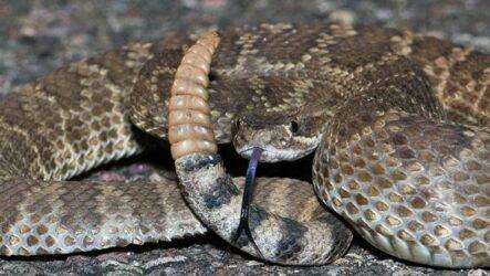 Гремучая змея. Описание, особенности, виды, образ жизни и среда обитания гремучей змеи