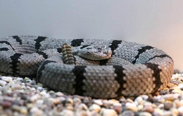 Гремучая-змея-Описание-особенности-виды-образ-жизни-и-среда-обитания-гремучей-змеи-13