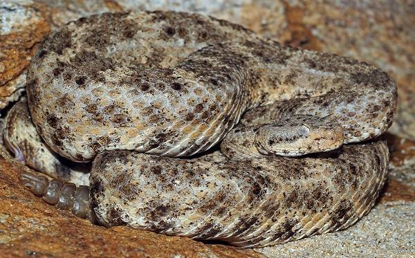 Гремучая-змея-Описание-особенности-виды-образ-жизни-и-среда-обитания-гремучей-змеи-14