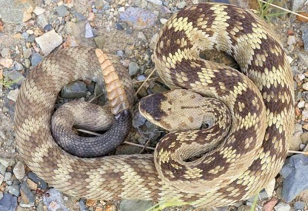 Гремучая-змея-Описание-особенности-виды-образ-жизни-и-среда-обитания-гремучей-змеи-15