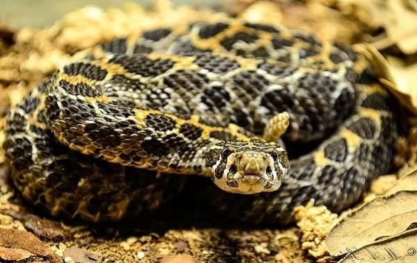 Гремучая-змея-Описание-особенности-виды-образ-жизни-и-среда-обитания-гремучей-змеи-16