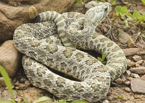 Гремучая-змея-Описание-особенности-виды-образ-жизни-и-среда-обитания-гремучей-змеи-18