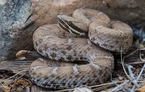 Гремучая-змея-Описание-особенности-виды-образ-жизни-и-среда-обитания-гремучей-змеи-19