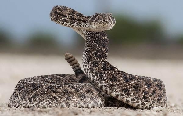 Гремучая-змея-Описание-особенности-виды-образ-жизни-и-среда-обитания-гремучей-змеи-2