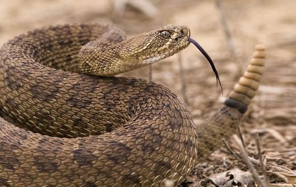 Гремучая-змея-Описание-особенности-виды-образ-жизни-и-среда-обитания-гремучей-змеи-20