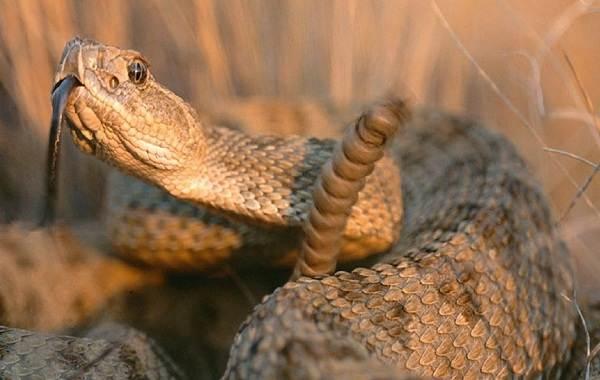 Гремучая-змея-Описание-особенности-виды-образ-жизни-и-среда-обитания-гремучей-змеи-21