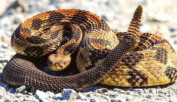 Гремучая-змея-Описание-особенности-виды-образ-жизни-и-среда-обитания-гремучей-змеи-22
