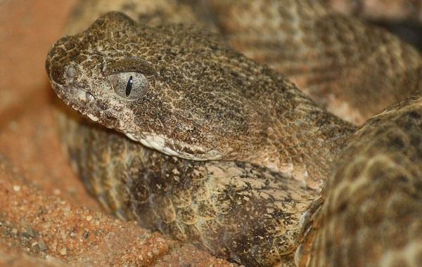 Гремучая-змея-Описание-особенности-виды-образ-жизни-и-среда-обитания-гремучей-змеи-23