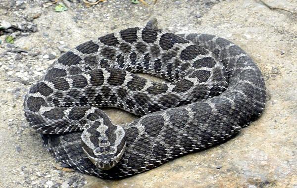 Гремучая-змея-Описание-особенности-виды-образ-жизни-и-среда-обитания-гремучей-змеи-24