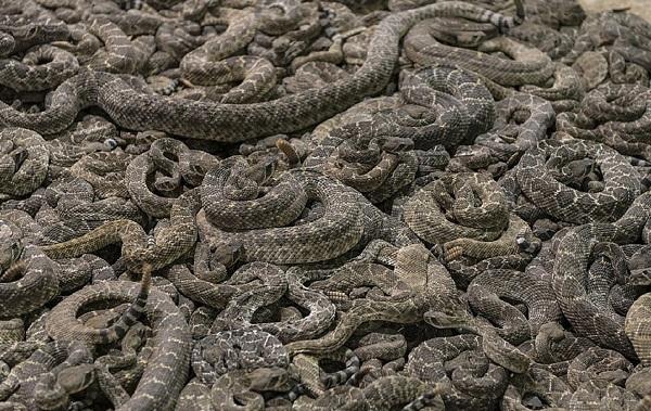 Гремучая-змея-Описание-особенности-виды-образ-жизни-и-среда-обитания-гремучей-змеи-25