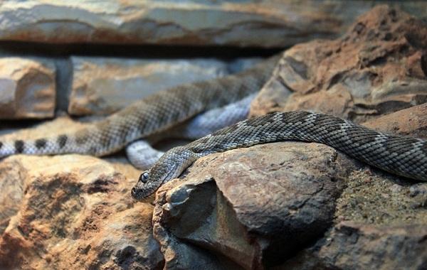 Гремучая-змея-Описание-особенности-виды-образ-жизни-и-среда-обитания-гремучей-змеи-26