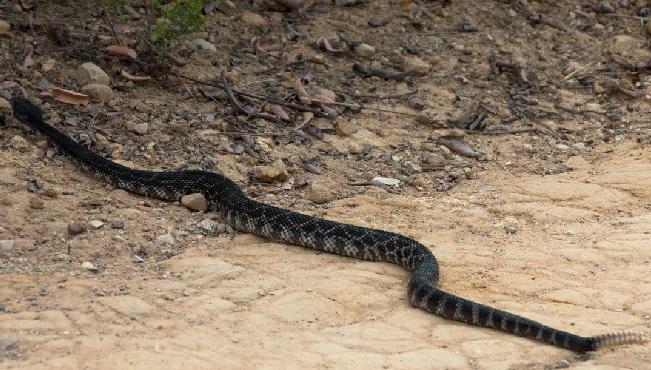 Гремучая-змея-Описание-особенности-виды-образ-жизни-и-среда-обитания-гремучей-змеи-27