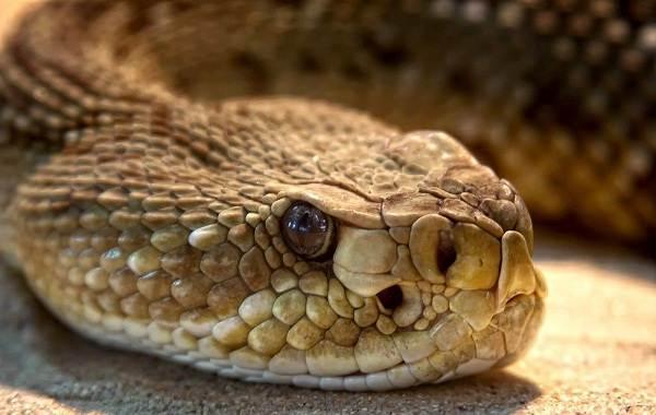 Гремучая-змея-Описание-особенности-виды-образ-жизни-и-среда-обитания-гремучей-змеи-3