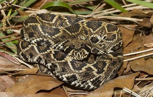 Гремучая-змея-Описание-особенности-виды-образ-жизни-и-среда-обитания-гремучей-змеи-5
