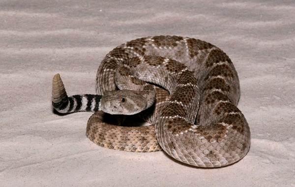 Гремучая-змея-Описание-особенности-виды-образ-жизни-и-среда-обитания-гремучей-змеи-7