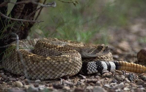 Гремучая-змея-Описание-особенности-виды-образ-жизни-и-среда-обитания-гремучей-змеи-8