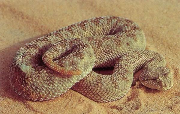 Гремучая-змея-Описание-особенности-виды-образ-жизни-и-среда-обитания-гремучей-змеи-9