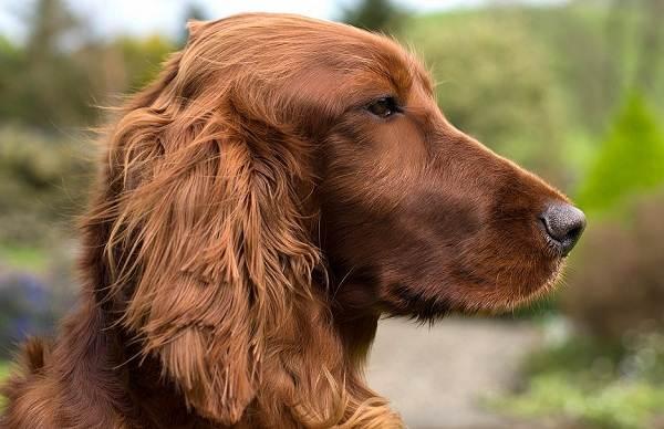 Ирландский-сеттер-собака-Описание-особенности-виды-уход-и-содержание-породы-1