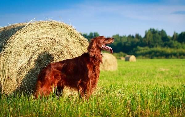 Ирландский-сеттер-собака-Описание-особенности-виды-уход-и-содержание-породы-10