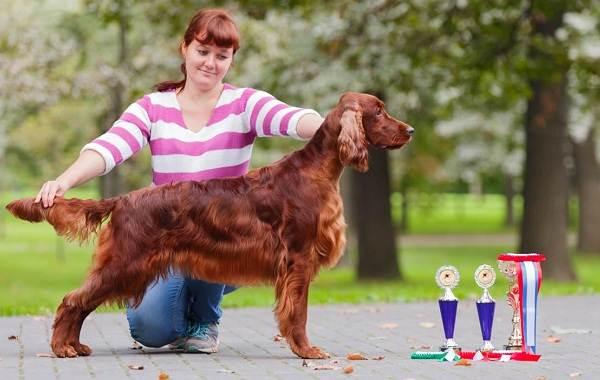 Ирландский-сеттер-собака-Описание-особенности-виды-уход-и-содержание-породы-14