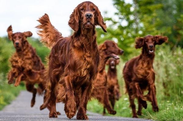 Ирландский-сеттер-собака-Описание-особенности-виды-уход-и-содержание-породы-16