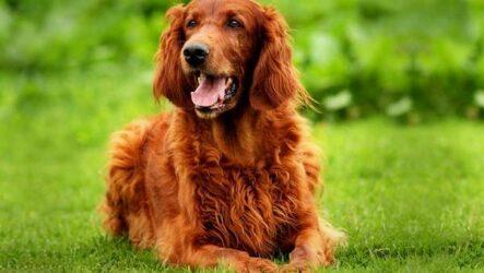 Ирландский сеттер собака. Описание, особенности, виды, уход и содержание породы