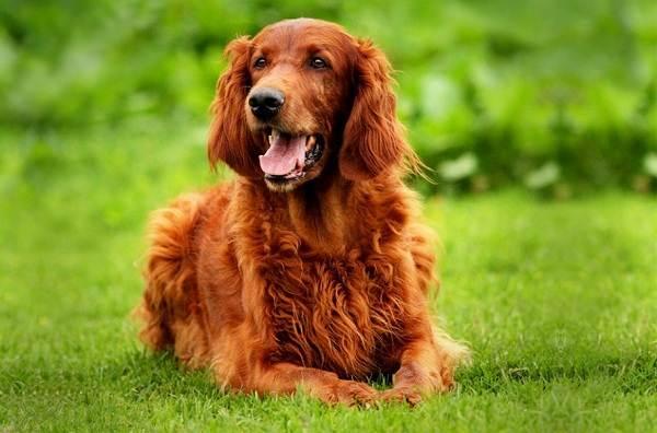 Ирландский-сеттер-собака-Описание-особенности-виды-уход-и-содержание-породы-2