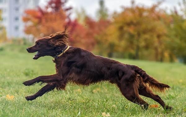 Ирландский-сеттер-собака-Описание-особенности-виды-уход-и-содержание-породы-3
