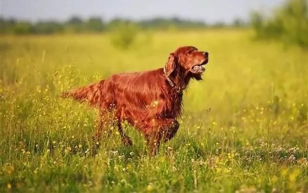 Ирландский-сеттер-собака-Описание-особенности-виды-уход-и-содержание-породы-4