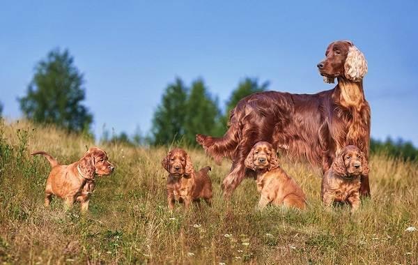 Ирландский-сеттер-собака-Описание-особенности-виды-уход-и-содержание-породы-5